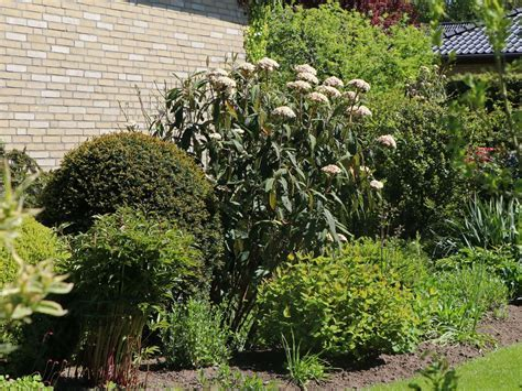 Viburnum rhytidophyllum, viburnum rhytidophyllum, the