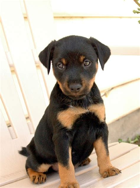 Jagdterrier Puppies for Sale: Jagd Terrier Puppies for Sale
